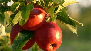 VIDEO: Obitelj kraj Butonige na kućnom pragu proda 10 tona jabuka