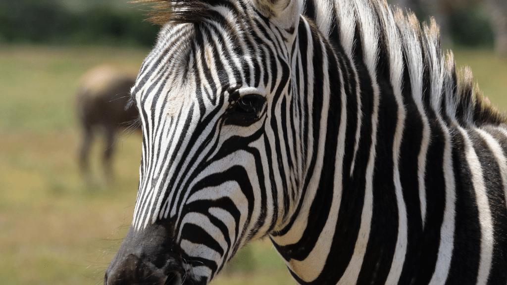 Zagreb ZOO traži ime za mladunče zebre. Koje predlažete?